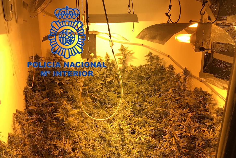 Detingut a Torrent després de trobar una plantació de marihuana