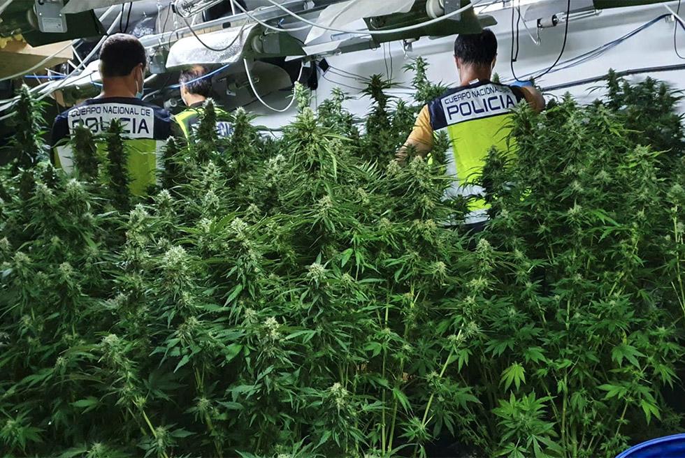 Desmantellat un laboratori amb 176 plantes de marihuana amb dos detinguts